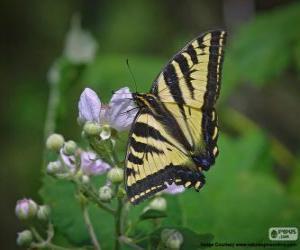 Östlicher Tigerschwalbenschwanz (Papilio glaucus) puzzle