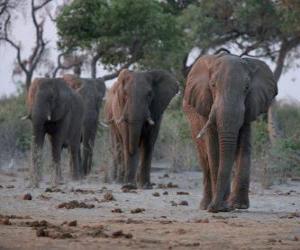 Afrikanische Elefanten puzzle