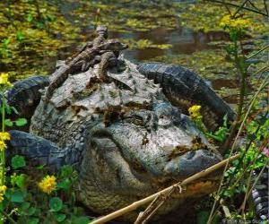 American Alligator, eines der größten Krokodil in Amerika, eine geschützte Art in den USA puzzle