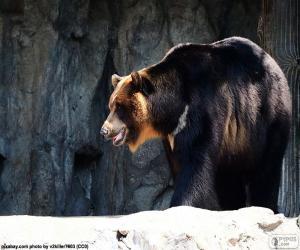 Asiatische Schwarzbären, Kragenbär puzzle