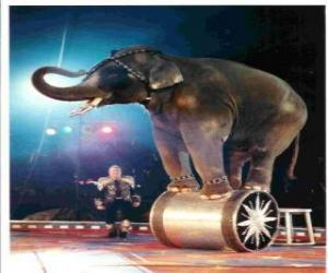 Ausgebildeter elefanten einem zirkus zu fuß auf einem zylinder puzzle