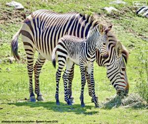 Baby Zebra und ihre Mutter puzzle