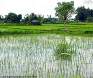 Bereich der Reis, Indonesien puzzle