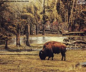 Bisons grasen puzzle