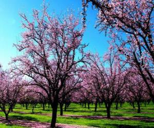 Blühende Mandelbäume Bäume im Frühling puzzle