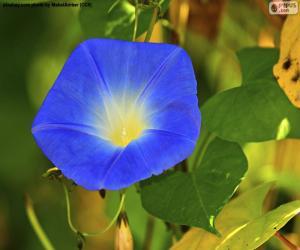 Blaue Prunkwinde puzzle