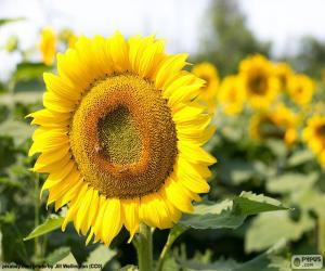 Blume Sonnenblume puzzle