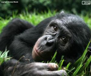 Bonobo oder Zwergschimpanse puzzle