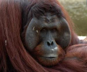 Borneo-Orang-Utan puzzle