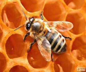 Die Honigbiene. Die Bienen die Honig produzieren puzzle