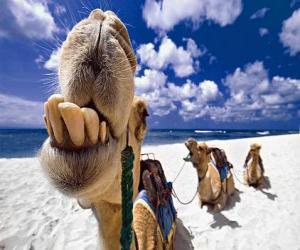 Die Kamele der Heiligen Drei Könige ruhen auf ihrem Weg nach Bethlehem puzzle