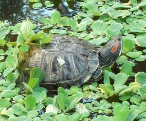 Die Rotwangen-Schmuckschildkröte puzzle