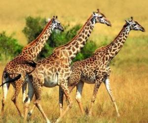 Drei Giraffen puzzle
