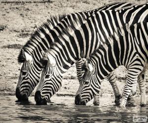 Drei Zebras Trinken puzzle