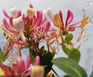 Echtes Geißblatt Blume puzzle