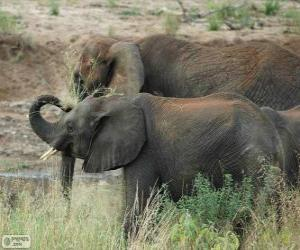 Elefanten Essen Kräuter puzzle
