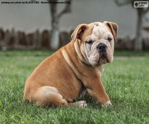 Englisch Bulldog Welpe puzzle