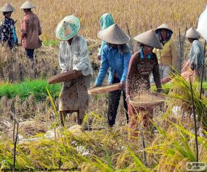 Ernte von Reis, Indonesien puzzle