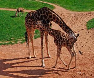 Erwachsenen Giraffe und Giraffenbaby puzzle