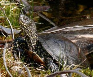 Europäische Sumpfschildkröte puzzle