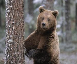 Europäischen Braunbären in Fuß ruht auf einem Baum puzzle