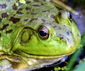 Frosch puzzle
