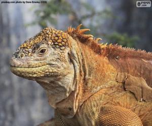 Galapagos-Landleguan puzzle