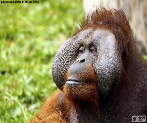 Gesicht eines männlichen Orang-Utans puzzle