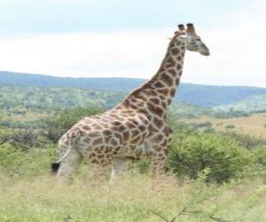 Giraffe Blick auf die Landschaft puzzle