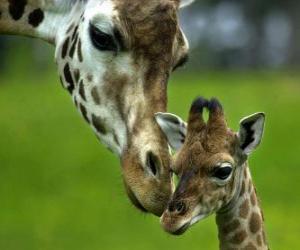 Giraffe mit ihrem Baby puzzle