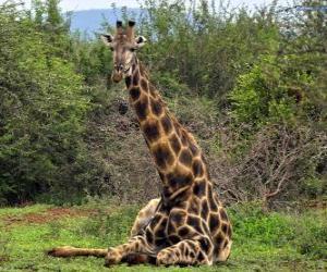 Giraffe ruhelosigkeit puzzle