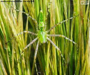 Grüne Luchs Spinne puzzle