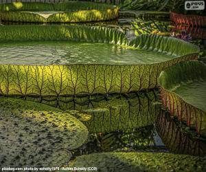 Große Wasser-Lilie puzzle