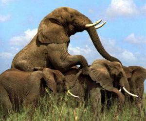 Gruppe von Elefanten, große Zähne puzzle