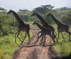 Gruppe von Giraffen Überqueren einer Straße puzzle