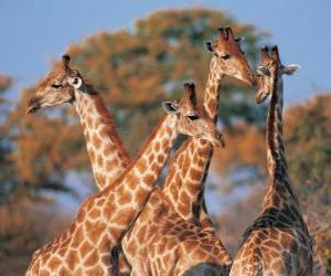 Gruppe von vier Giraffe puzzle