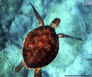 Himmelsfarbene Wasserschildkröte puzzle