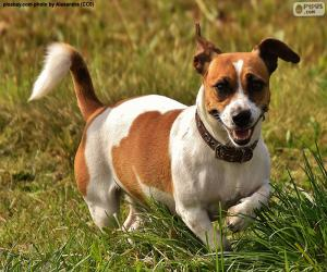Jack-Russell-Terrier puzzle