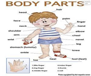 Körperteile auf Englisch puzzle