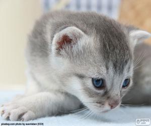 Katze grau blaue Augen puzzle