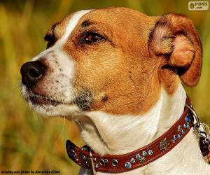 Kopf der Jack-Russell-Terrier puzzle