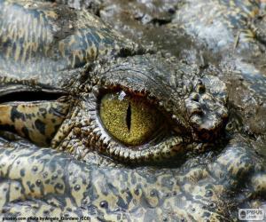 Krokodil-Auge puzzle