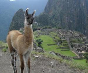 Lama, das bekannteste Tier des alten Inkareiches puzzle