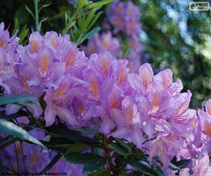 Lila Blüten der Azaleen puzzle