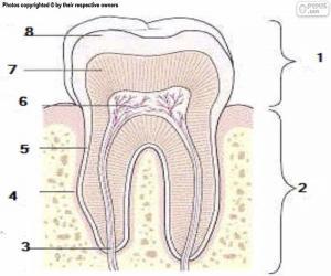 Menschlicher Zahn puzzle