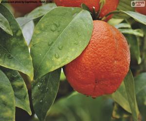 Orange im Baum puzzle