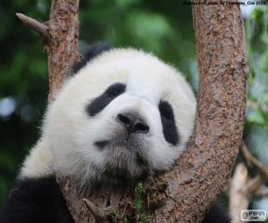 Panda, schlafen puzzle