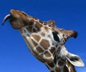 Portrait des Kopfes von einer schönen Giraffe puzzle