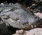 Krokodil Kopf