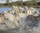 Herde von wilden pferden durch das Wasser
